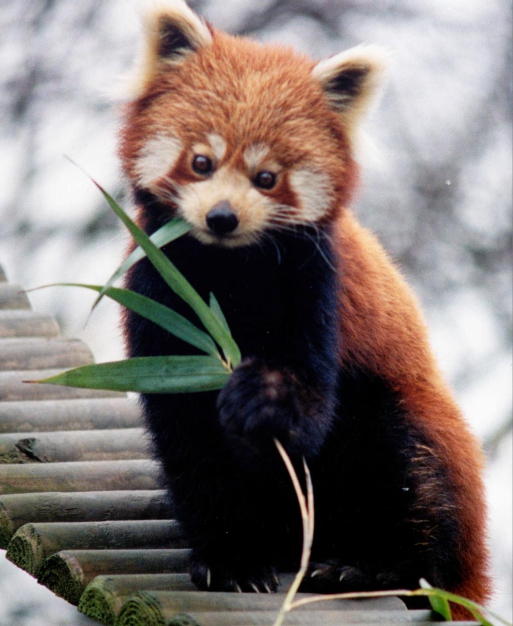 Project brahma wildlife red panda buycottarizona Gallery